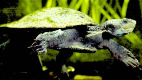 gulf snapping turtle