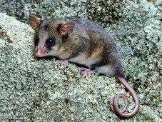 mountain-pygmy-possum_img01-l.jpg